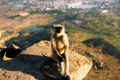 Monkey at pushkar